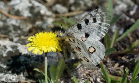A butterfly on a Gaffelfibbla (Pilosella dichotoma)
