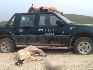 An undated photo shows dead livestock, run over by heavy vehicles and bulldozers in Inner Mongolia's diminishing grasslands.