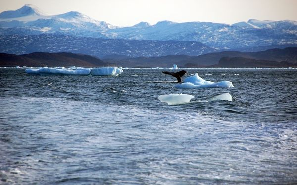 A whale dives into sea off the coast of Greenland's capital Nuuk